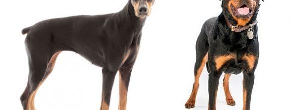 Dóberman y Rottweiler, razas caninas rodeadas de mitos