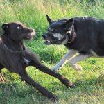 Cómo separar a perros que se pelean