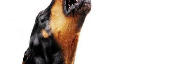 ¿Por qué los perros aúllan al oír las sirenas de ambulancia?