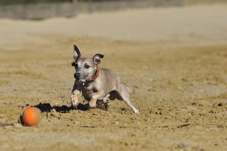 Perros que más se abandonan con triste final: los de caza