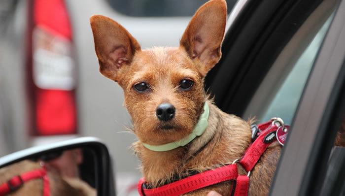 Cómo viajar seguros con tu perro en el coche