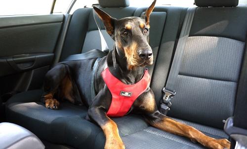 Cinturones y arnés para viajar con tu perro en el coche