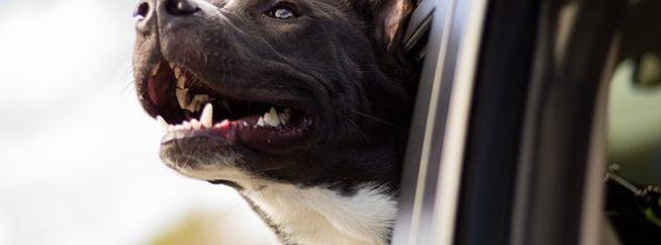 Asegúrate de que tu perro viaje seguro en coche