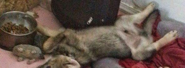 Un hombre adopta a un cachorro creyendo que era un perro, pero…