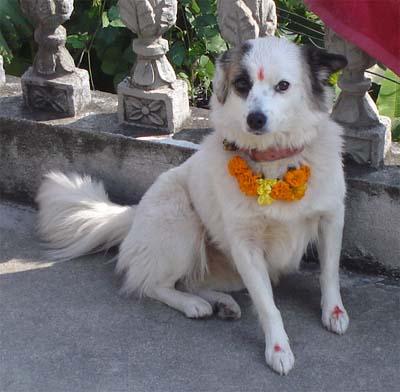Se celebra el Tihar en Nepal para venerar perros