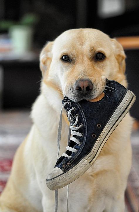 ¿Por qué los perros aman mis zapatillas?