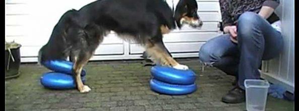 Ejercicios de propiocepción para perros