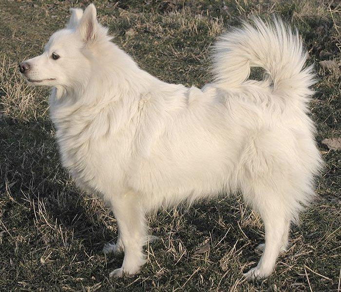 Descubre como son es la raza de perro lobo Spitz