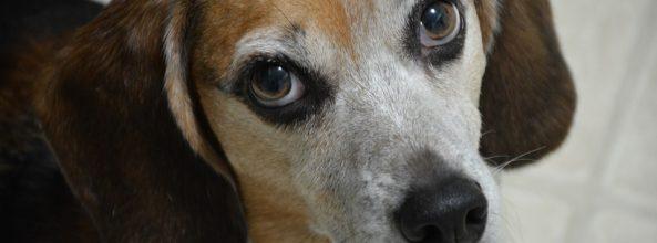 Los perros de diseño abocados a la extinción