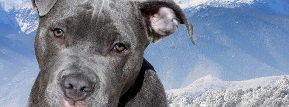 Se investiga a cuatro personas por peleas ilegales perros