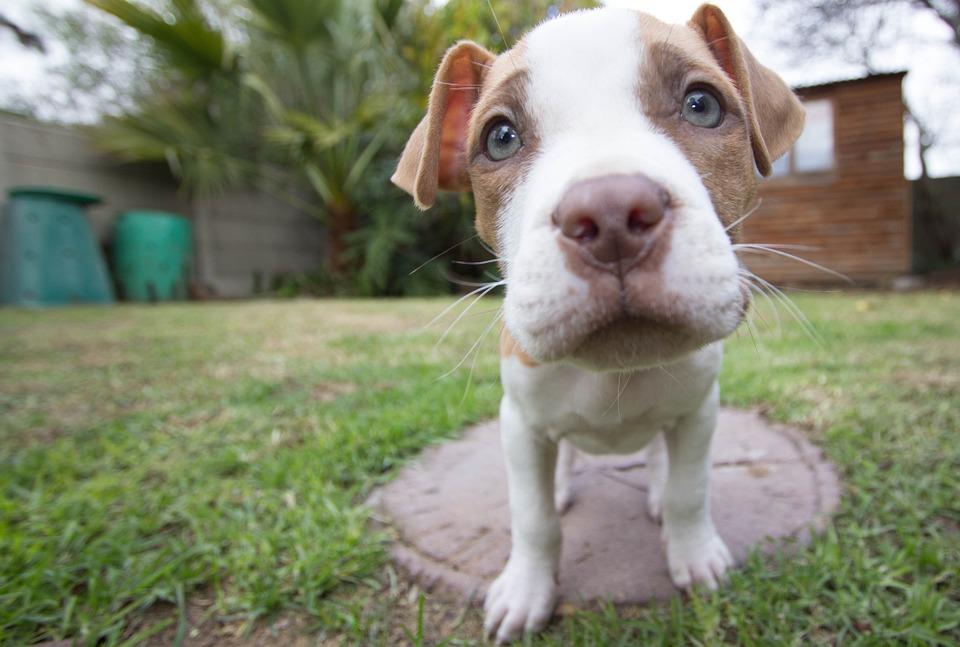 Se investiga a cuatro personas por peleas ilegales de perros