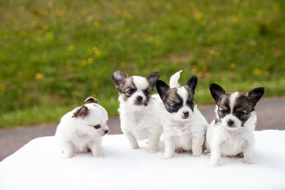 Razas de perro se mezclaron genéticamente de Asia a América