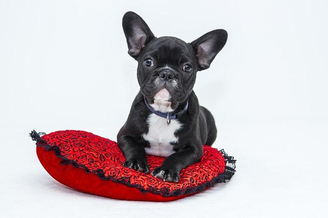 Homeopatía para perros: Nux Vomica