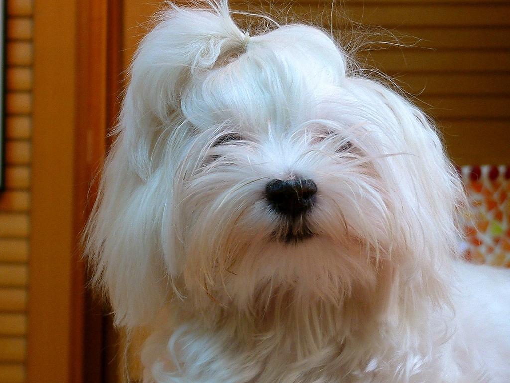 Cómo cortarle bien el cabello a un perro de manto largo