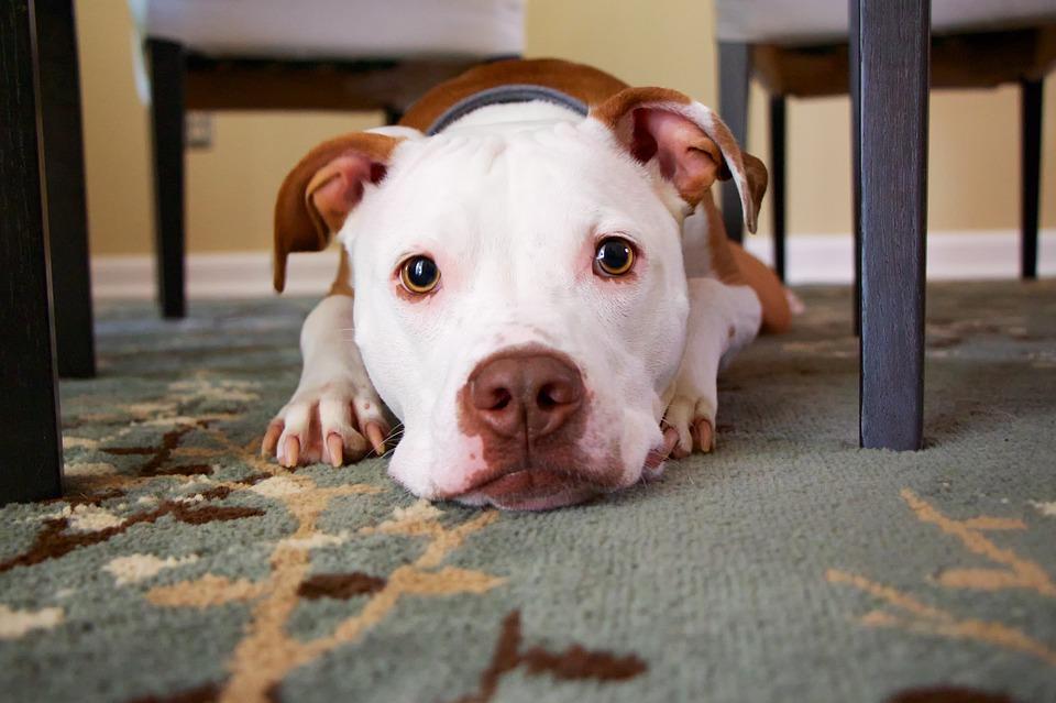 ¿Cómo saber cuándo un perro está obeso?