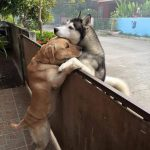 Un perro abraza a otro detrás de un muro