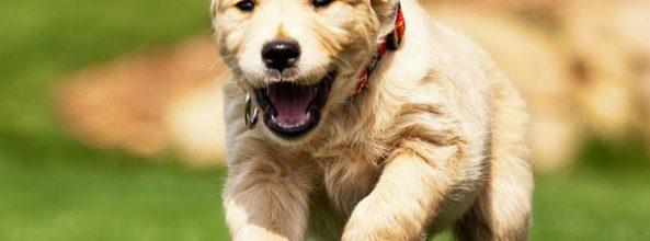 Blat, el perro que reconoce el cáncer de pulmón