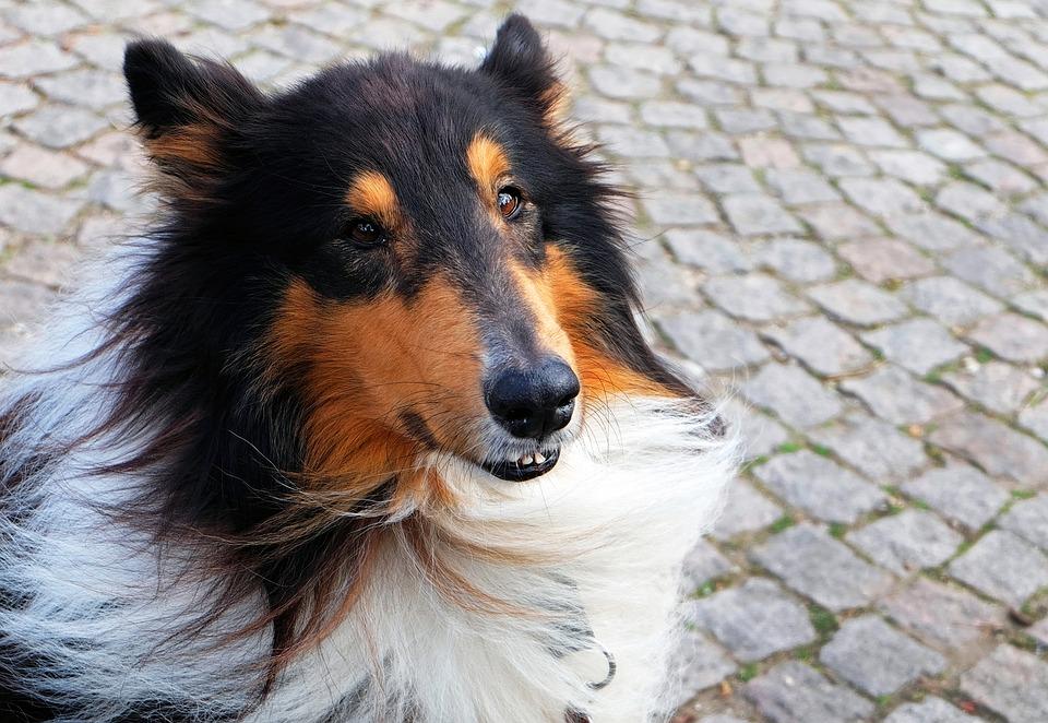 Es peligroso un soplo en el corazon de los perros
