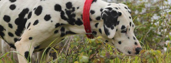 Remedios naturales para las pulgas de los perros