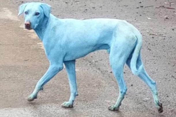 Perros azules en Mumbai