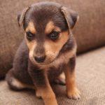 Nuevas alarmas en robos de perros