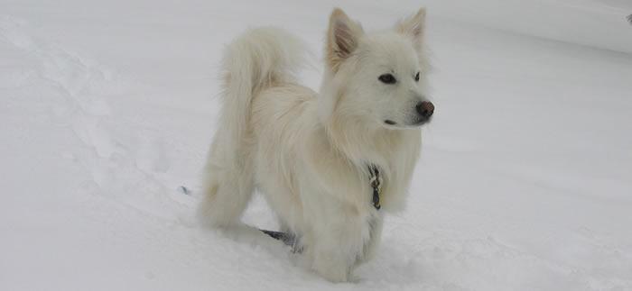 American Eskimo - Razas de perros pequeños
