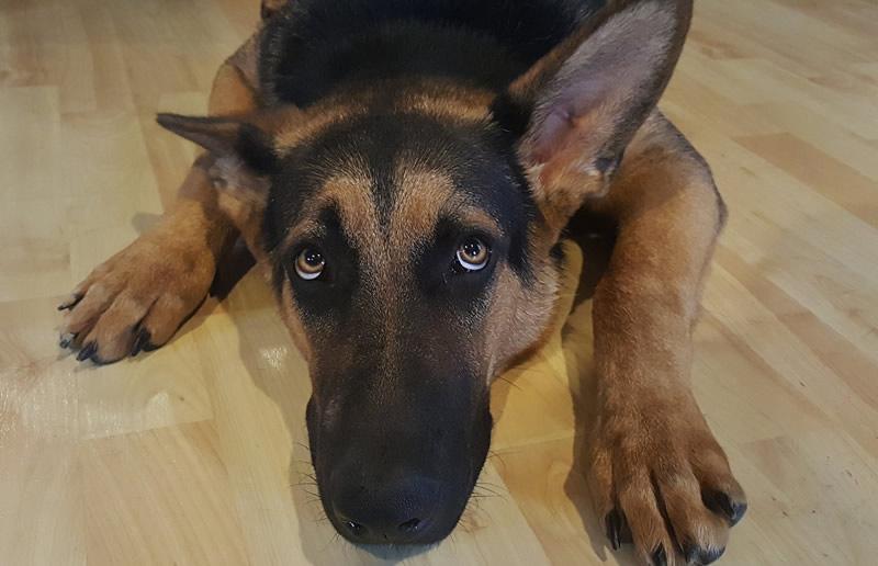 La mayoría de los perros suelen tener terror a los fuegos artificiales o petardos