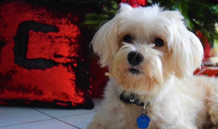 Razas De Perros Pequeños Tipos Y Características