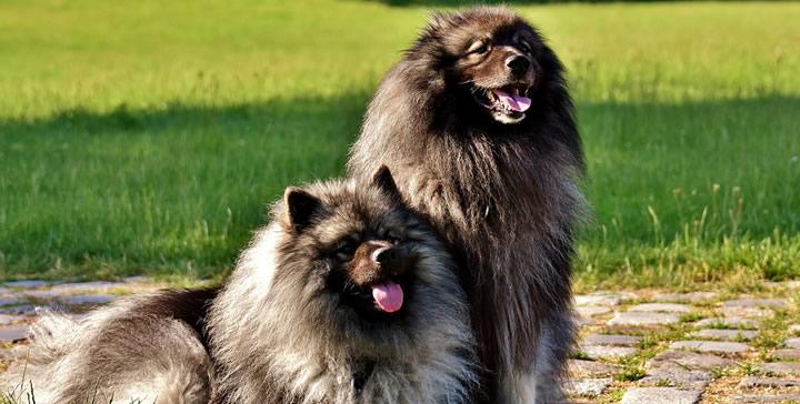 Diferentes razas de perros peludos