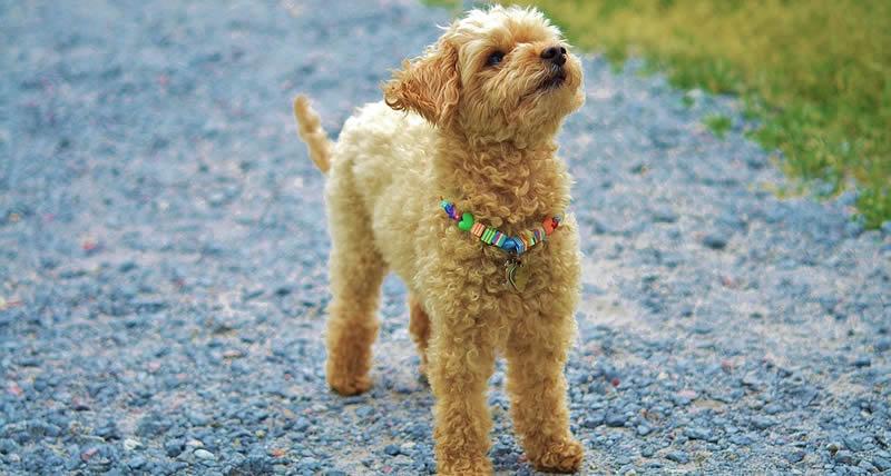 Colgantes brillantes para correas, el regalo perfecto para las perritas pequeñas