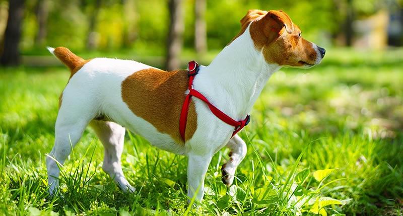 Correas para perros pequeños ¿Cuáles son mejores las de tejidos sintéticos o de piel?