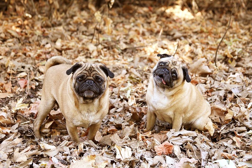 Enfermedades de perros : la leishmaniasis