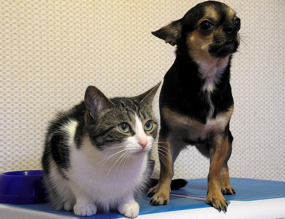 Los perros son más inteligentes que los gatos