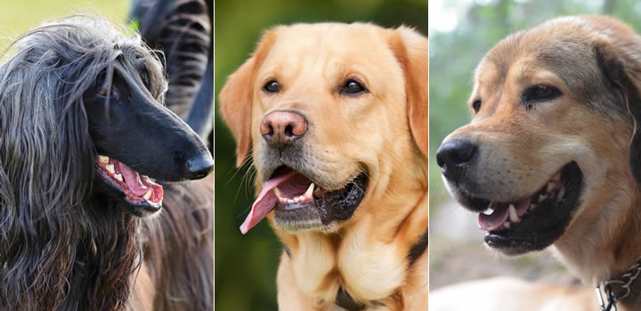 Perros Peludos Grandes - Razas favoritas