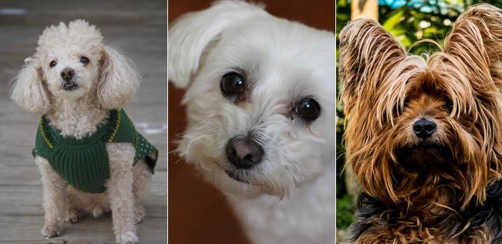 Razas de Perros Peludos Pequeños