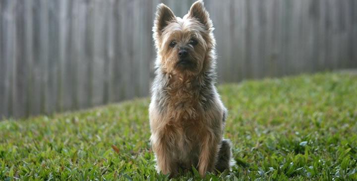 Australian Terrier - Perros de tamaño pequeño con el pelo largo