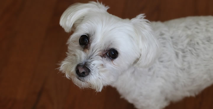 Bichón Maltés - Perros pequeños de pelo o manto largo para tener en casas con niños