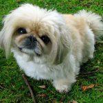 La anemia en perros