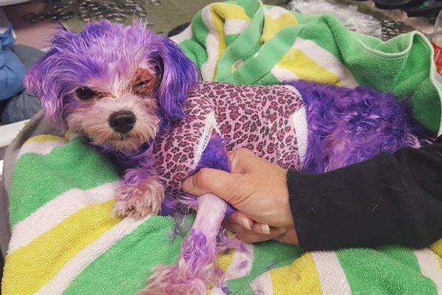 Teñir a los perros ¡ya es maltrato animal!