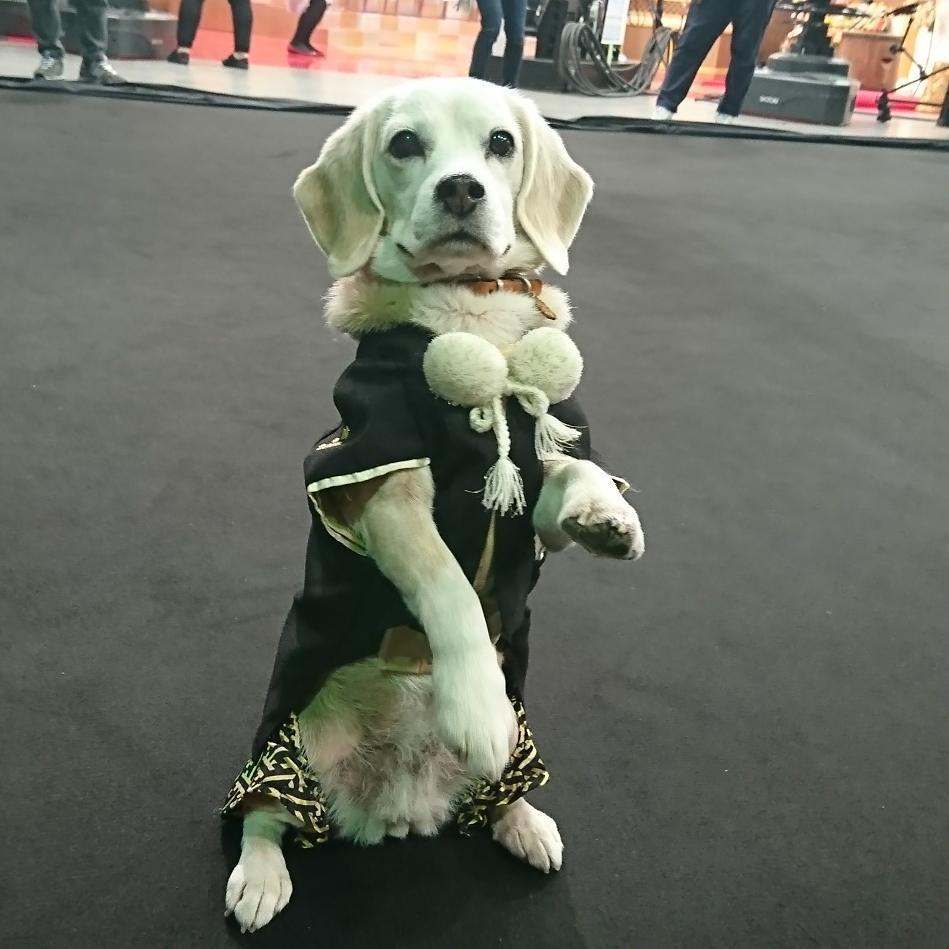 Purin, la súper Beagle