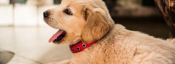 El análisis de ADN de los perros llega a Vigo y Cangas