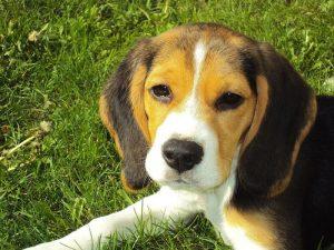 Foto de cachorro de Beagle
