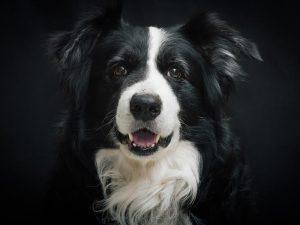 Border Collie Precioso, el perro más bonito del mundo