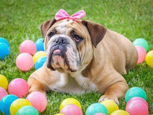 Simpático Bulldog Inglés