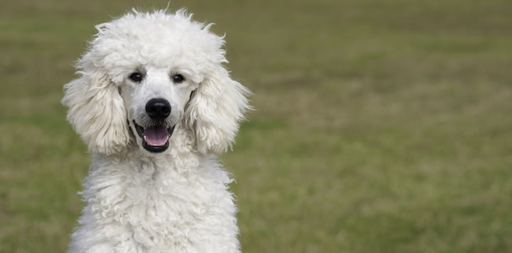 Caniche Mediano - Perros medianos elegantes