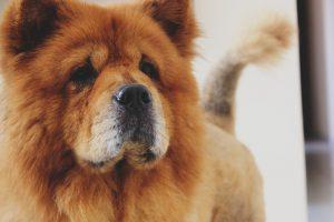 Chowchow, el Rey León de los perros