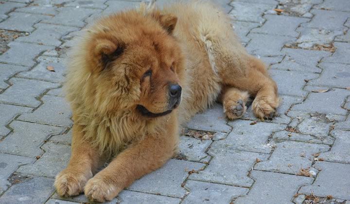 Chow Chow - perros medianos peludos y guapos