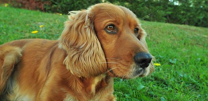 Cocker Spaniel - Perros medianos de pelo largo