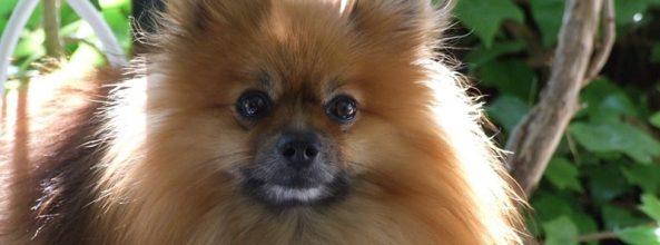 Raza de perro Pomerania