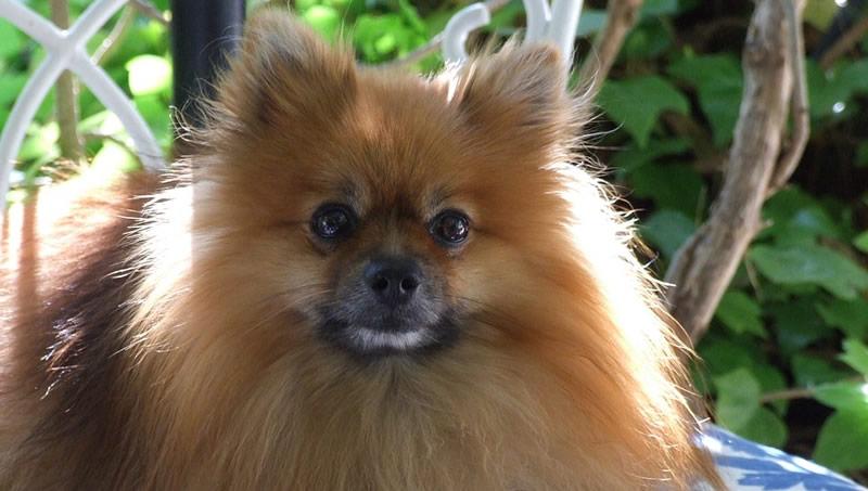Raza de perro Pomerania - Características
